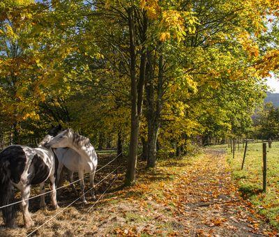 Zwei Pferde stehen auf einer Koppelunter herbstlich gefärbten Bäumen