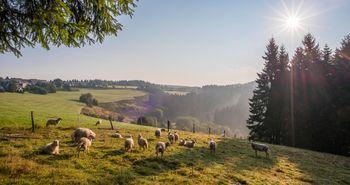 Auf einer Wiesen- und Weidenlandschaft stehen Schafe. Im Hintergrund befindet sich der Ort Altastenberg.