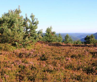 Heidelandschaft mit blühender Heide