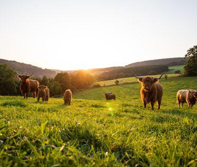 Highlandkühe mit Kälbchen bei Sonnenuntergang auf einer Wiese