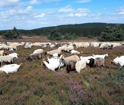 ohne Heidschnucken und Ziegen ist die Heidelandschaft nicht möglich