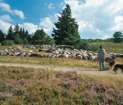 Eine Herde Heidschnucken grast auf der Hochheide.