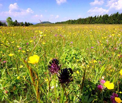 Auf einer Bergwiese in Lenneplätze stehen viele bunte Blumen.
